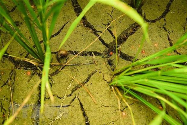 Nhiều diện tích lúa, cây trồng bị thiệt hại do khô hạn kéo dài - Ảnh 1.