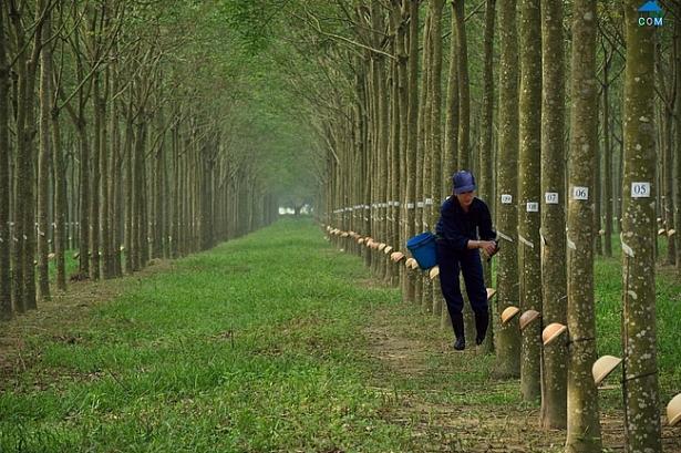 cao su phuoc hoa muon ban het 28 trieu co phieu quy voi khoang gia quanh 40000 dongcp